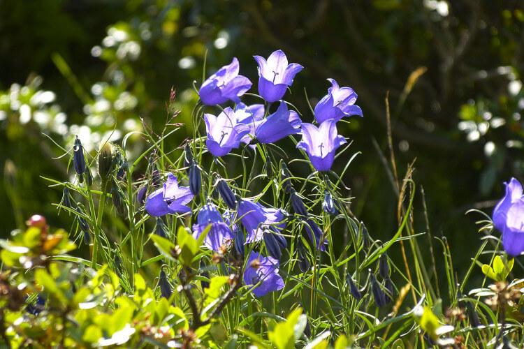 Blumen auf der Alm - Loosbühelalm in Großarl, Großarltal, Salzburger Land