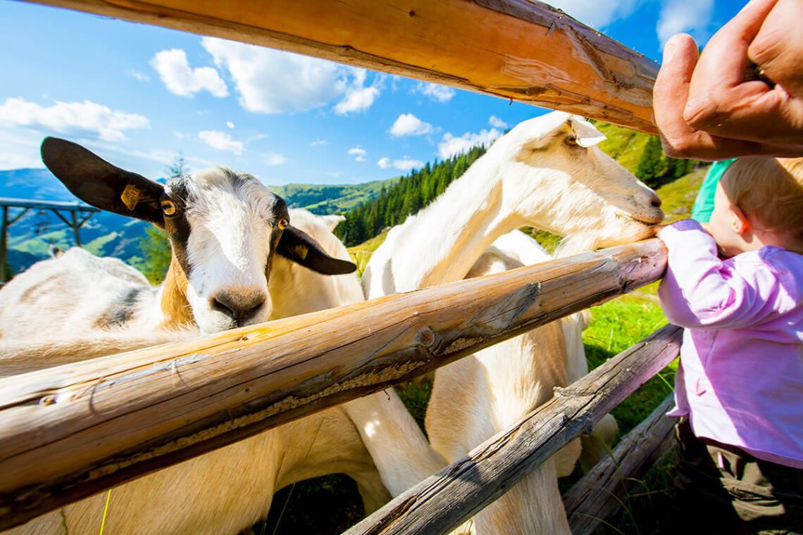 Bauernhoftiere beim Klausbauer, Urlaub auf dem Bauernhof in Großarl